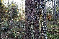 Fichtenharz, Fichten-Harz, Baumharz, Harz, Harztropfen, liquid pitch, tree gum, galipot, gallipot. Gewöhnliche Fichte, Rot-Fichte, Rotfichte, Picea abies, Common Spruce, Norway spruce, L'Épicéa, Épicéa commun