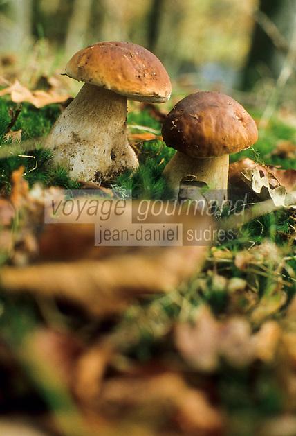 Europe/France/Limousin/87/Haute Vienne: Cèpes dans le Parc Naturel Régional de Millevaches en Limousin