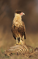 Crested Caracara, Caracara plancus, immature on deer carcass, Starr County, Rio Grande Valley, Texas, USA