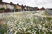 Wild flowers grow on the site of a demolished street next to Liverpool football stadium in Anfield.  Neighbouring streets are scheduled for demolition by the Merseyside NewHeartlands partnership, financed by the Housing Market Renewal Fund, part of a government strategy aimed at tackling 'low demand'.  Some long-standing residents oppose the demolition of their homes.