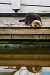 Sea Otter (Enhydra lutris) male sleeping on dock, Elkhorn Slough, Monterey Bay, California