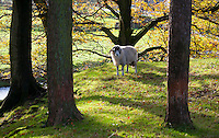 Swaledale rams and autumn leaves, Marshaw, Over Wyresdale, Forest of Bowland, Lancashire, UK