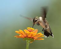 Black-chinned Hummingbird female in summer.