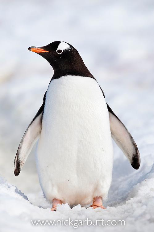 Gentoo Penguin (Pygoscelis papua). Peterman Island, Antarctic Peninsula, Antarctica.