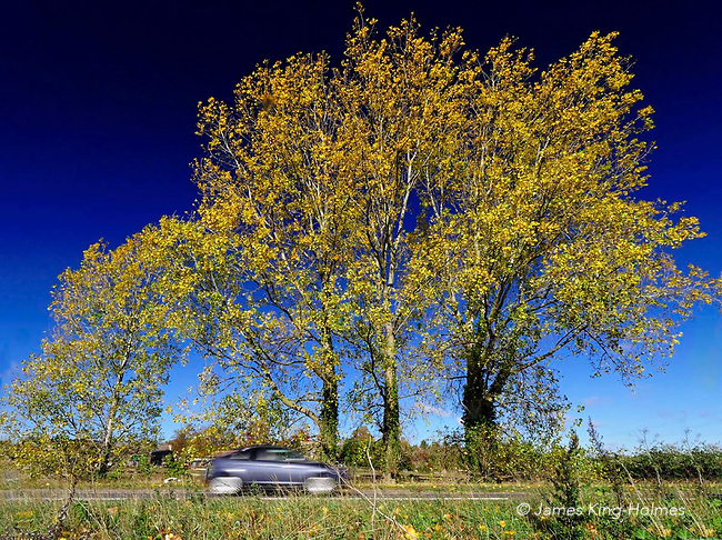 Autumnal birch trees by the side of the  the A420 road near Fyfield, Oxfordshire, UK. The road links Oxford and Swindon.