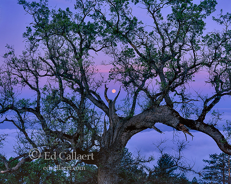 Moonset, Coast Live Oak, Los Padres National Forest, Big Sur, Monterey County, California