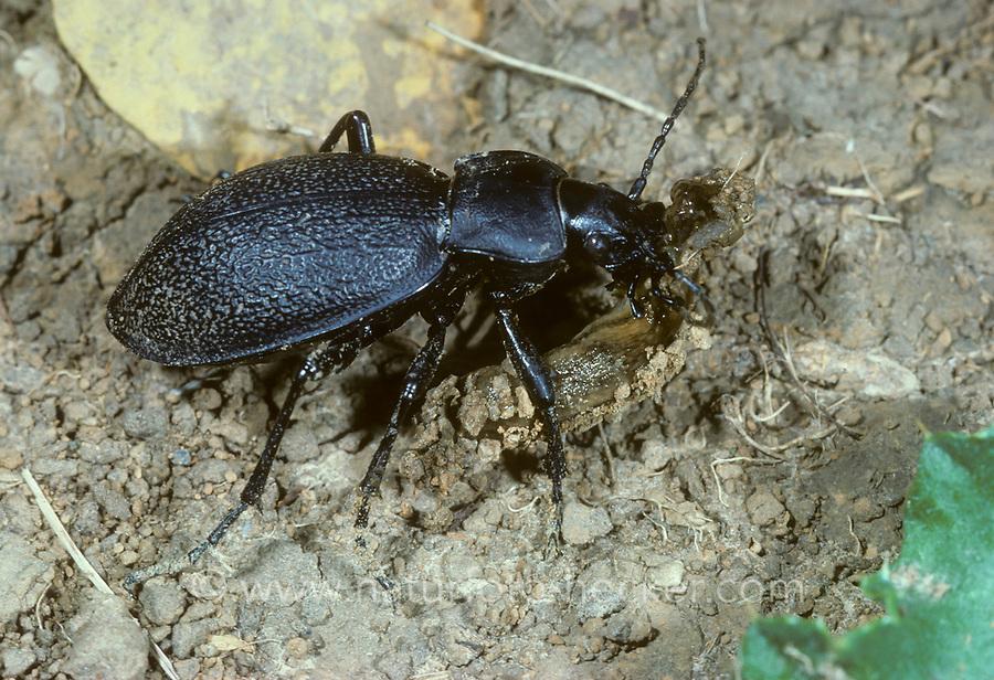 Lederlaufkäfer, mit Beute, erbeutete Schnecke, Nacktschnecke, Leder-Laufkäfer, Lederkäfer, Carabus coriaceus, leatherback ground beetle, leather beetle