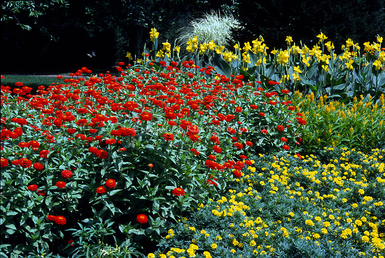 Annual flower garden border bed: Zinnia Ruffles Scarlet, Marigold Tagetes Yellow Boy, Celosia Golden Triumph, Canna Longwood Yellow, red and yellow color theme annuals flower garden