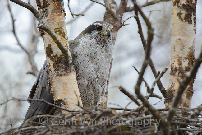 Adult female Northern Goshawk perched on nest. Yukon Delta National Wildlife Refuge, Alaska. June.