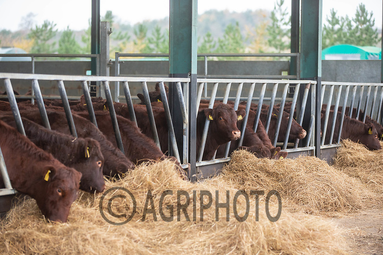 10/12/2020 Red Poll cattle eating hay <br /> ©Tim Scrivener Photographer 07850 303986<br />      ....Covering Agriculture In The UK....