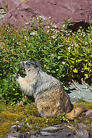 Hoary Marmot (Marmota caligata) feeding.  Rocky Mountains.  Fall.