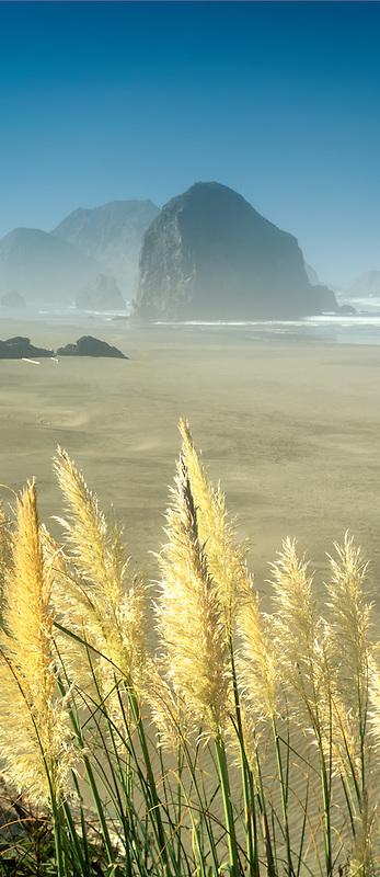 Pampas grass and beach at Cape Sebastian State Park, Oregon.