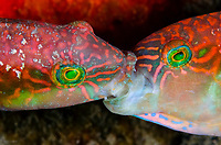 wrasse, family Labridae, males, fighting over territory and the right to spawn with nearby females, Anilao, Philippines, Pacific Ocean