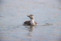 Red-throated Loon (Gavia stellata) in winter plumage swimming in the Morris Canal, Jersey City, New Jersey.