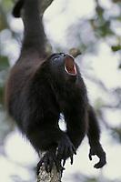 Guatemalan Black Howler, or Yucatan Black Howler (Alouatta pigra), Belize.  Howling.