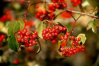 Red Hawthorn, C. monogyna, berries close up