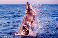 great white shark, Carcharodon carcharias, breaches to attack South African (Cape) fur seal pup, Arctocephalus pusillus pusillus, False Bay, South Africa (2 of 5)