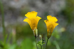 Yellow Monkeyflower blossoms