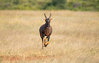 A Topi, Damaliscus lunatus jimela, runs through the grass in the Trans Mara area near Maasai Mara National Reserve, Kenya