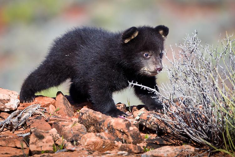 Baby Black Bear investigating a bush - CA