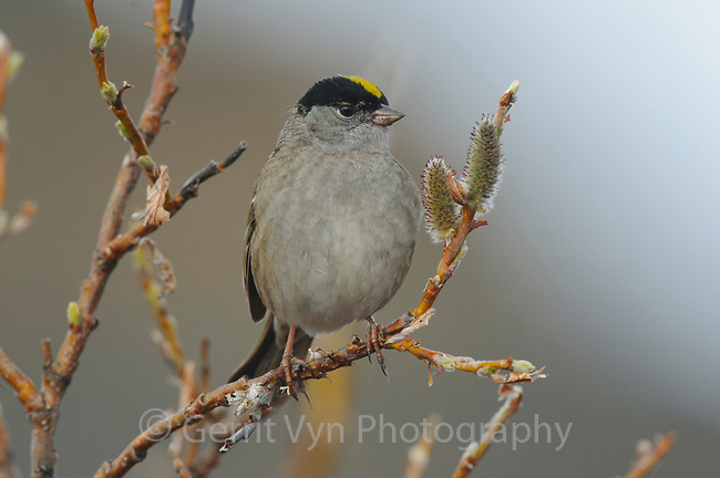 Golden-crowned Sparrow (Zonotrichia atricapilla) in willow. Seward Peninsula, Alaska. May.