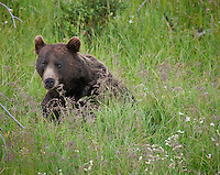Grizzly Bear sitting in the grass in Yellowstone National Park, Wyoming with head and face visible