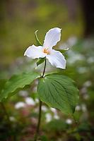 White trillium (Trillium grandiflorum), Cove Hardwood Nature Trail