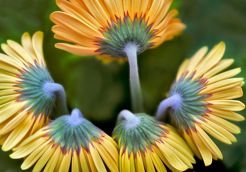 Gerbera flowers. Al's Nursery. Oregon