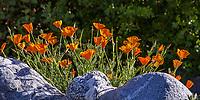 Eschscholzia californica, California poppy flowering in morning light, Southern California Montane Botanic Garden