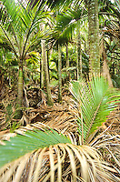 Nikau Palm grove on Heaphy Track - Kahurangi National Park, West Coast, New Zealand