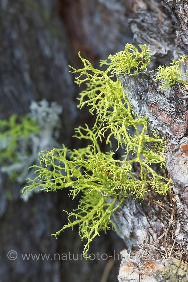 Wolfsflechte, Wolfs-Flechte, Wolfflechte, Wolf-Flechte, Wolfsstrauchflechte, Wolfs-Strauchflechte, auf der Rinde einer Lärche, Larix,  Letharia vulpina, Evernia vulpina, wolf lichen