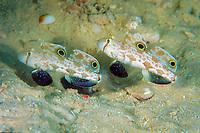 twinspot goby Signigobius biocellatus Great Barrier Reef, Australia