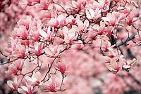 Saucer Magnolia tree, Magnolia soulangiana #5420.