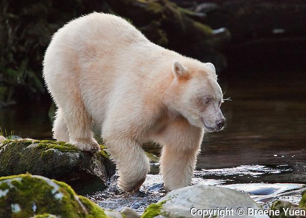 Spirit Bear 'Ringer' prowling for Salmon