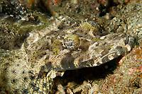 Crocodile fish, Cymbacephalus beauforti, Gangga Island Resort, North Sulawesi, Indonesia, Pacific Ocean