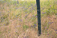 Old fence in pasture with bachelor button wildfloweers. the Palouse, Washington