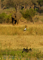 Cormoran, African Elephant and Saddle billed Stork in the Okavango Delta, Botswana Africa.
