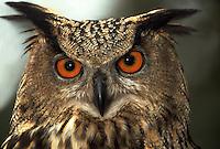 Close up portrait of a Eurasian Eagle owl.