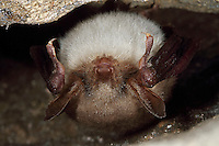 Großes Mausohr, Mausohr, Myotis myotis, Greater mouse-eared bat