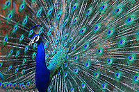A stunning peacock dances with all its beautiful feathers open.