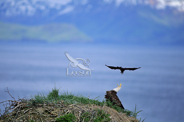 Bald Eagle being harassed by crow (northwestern crow).   Alaska.  Summer.  The eagle has its nest here on this seastack and the crow would dive bomb the eagle for ten, fifteen minutes at-a-time, day after day.