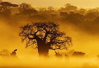 Baobab Tree (Adansonia digitata) at sunrise Tarangire National Park, Tanzania.