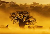 Baobab Tree (Adansonia digitata) at sunrise Tarangire National Park, Tanzania.
