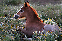 "A young foal rests in a bed of chamomile flowers on WIld Horse Sanctuary.<br /> Dianne Nelson has saved mustangs on a ranch in northern California.  ""It was in 1978 that the Wild Horse Sanctuary founders rounded up almost 300 wild horses for the Forest Service in Modoc County, California. Of those 300, 80 were found to be un-adoptable and were scheduled to be destroyed at a government holding facility near Tule Lake, California. <br /> <br /> The Sanctuary is located near Shingletown, California on 5,000 acres of lush lava rock-strewn mountain meadow and forest land. Black Butte is to the west and towering Mt. Lassen is to the east. <br /> Their goals:<br /> Increase public awareness of the genetic, biological, and social value of America's wild horses through pack trips on the sanctuary, publications, mass media, and public outreach programs.<br /> Continue to develop a working, replicable model for the proper and responsible management of wild horses in their natural habitat.<br /> Demonstrate that wild horses can co-exist on the open range in ecological balance with many diverse species of wildlife, including black bear, bobcat, mountain lion, wild turkeys, badger, and gray fox.<br /> Collaborate with research projects in order to document the intricate and unique social structure, biology, reversible fertility control, and native intelligence of the wild horse."