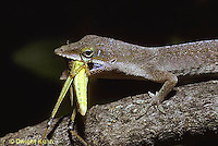 1R06-058z  Green Anole - eating insect prey - Anolis carolinensis
