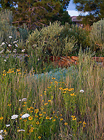 Colorado front yard meadow garden with seeded grass lawn substitute, Rudbeckia flowers, Queen Anne's Lace and Big Western Sage on dry stack stone wall; design by Tom Peace