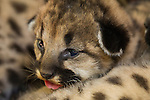 Mountain Lion (Puma concolor) kitten in den, Santa Cruz Puma Project, Santa Cruz Mountains, California