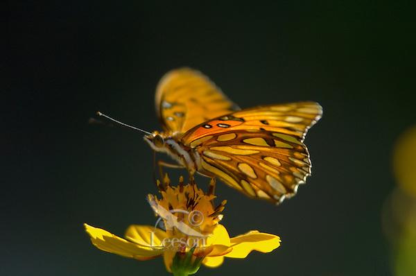 Gulf Fritillary (Agraulis vanillae) butterfly, Sonoran Desert, Arizona. Fall.