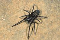 Fensterspinne, Finsterspinne, Kellerspinne, Amaurobius ferox, black lace-weaver, Finsterspinnen, Fensterspinnen, Amaurobiidae