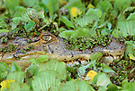 Spectacled caiman in water cabbage (Pistia stratiotes), Venezuela